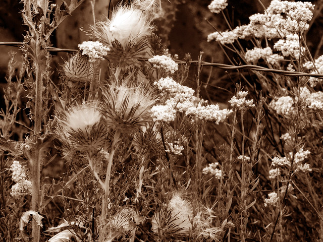 Thistles and Yarrow (Sepia)