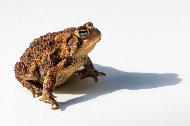 Eastern American Toad in Michigan
