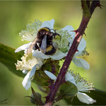The Blackberry and Bee