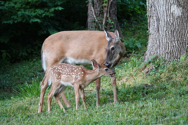 White-tailed Deer: Doe and Fawn