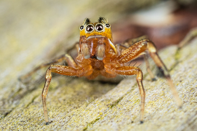 Groucho The Spider