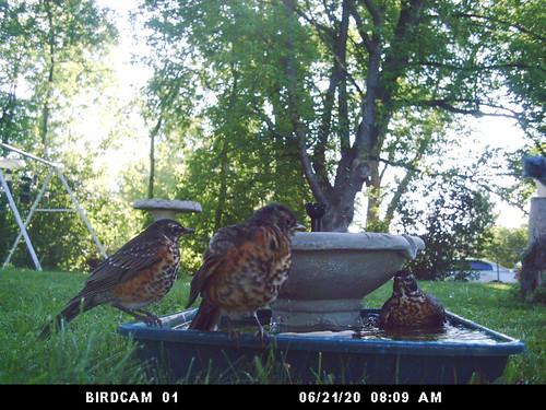 Baby robins bathing