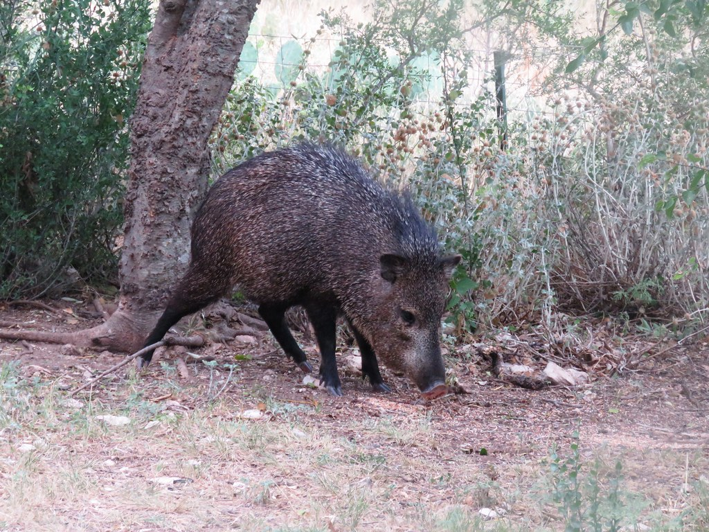 Javelina Sniffing out Food