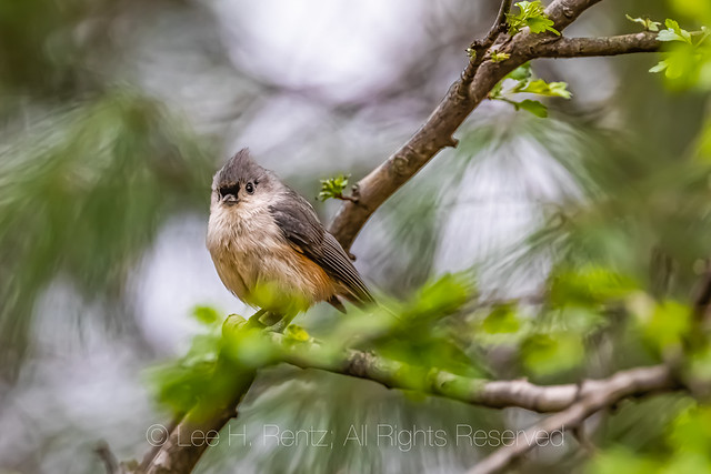 Tufted Titmouse in Michigan