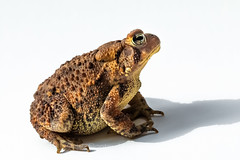 Eastern American Toad in Michigan