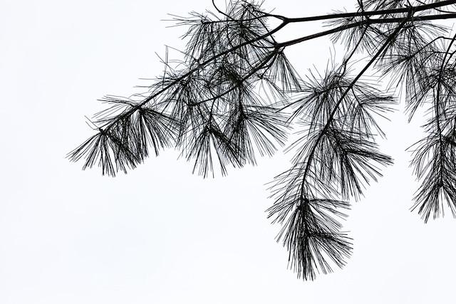 Eastern White Pine Needles in Michigan