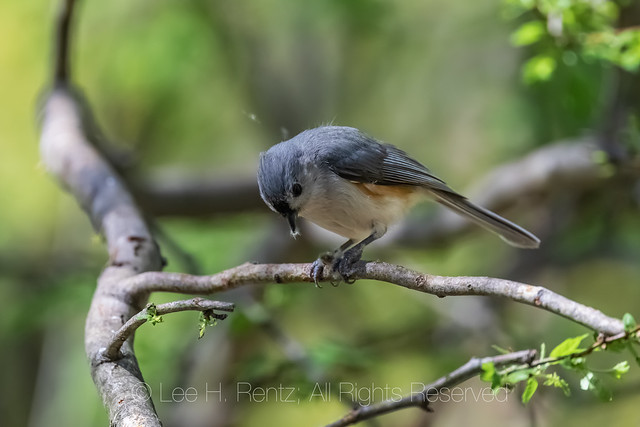 Tufted Titmouse Courtship Behavior in Michigan