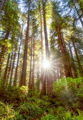Redwood Sunstar