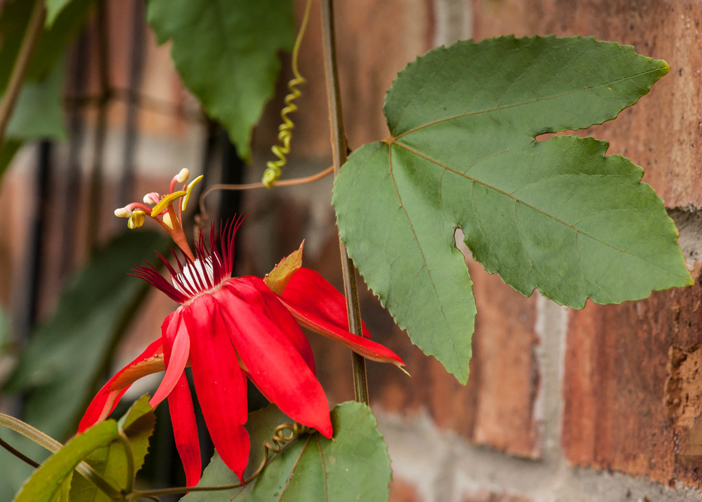 Red Passion Flower Vine