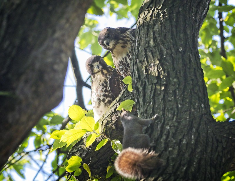 Tompkins Square red-tail fledglings eye a squirrel