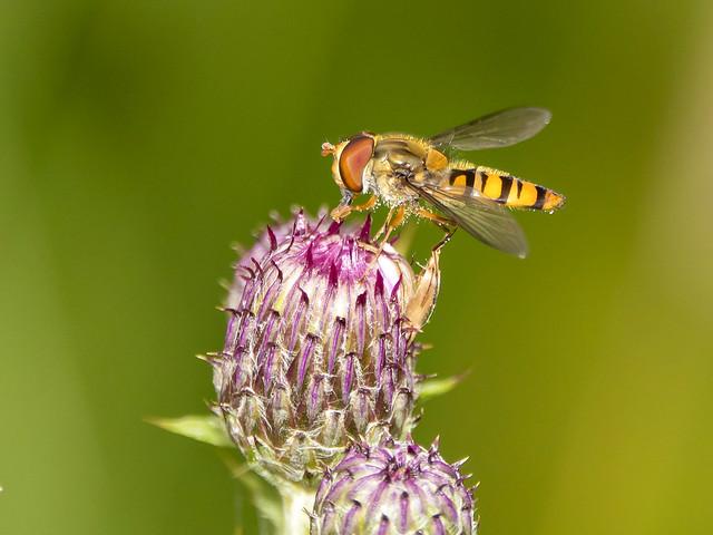 Pyjamazweefvlieg-Marmalade hoverfly (Episyrphus balteatus)