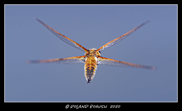 X-wing fighter - Four-spotted Chaser dragonfly in flight
