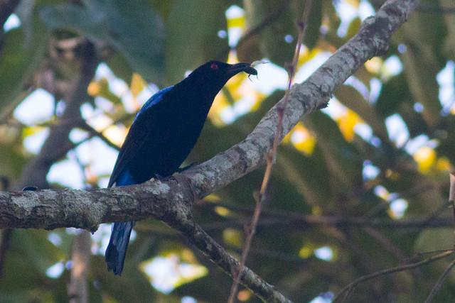 Asian Fairy-bluebird - male