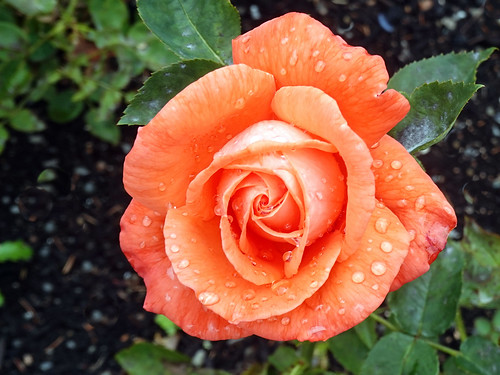 orange roses waterdrops wellington superstar rose rosen plants pflanzen ladynorwoodrosegarden newzealand outdoor outside garden garten nature natur blumen blume blüten blossom bloom blossoms blooms blüte flowers flower flora fleur wassertropfen raindrops regentropfen drops 022523 rx100m6