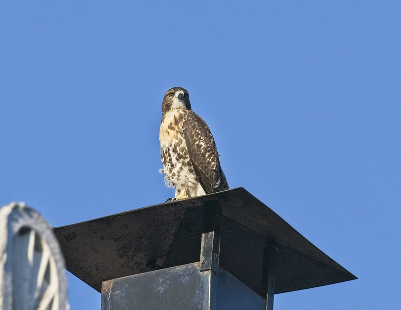 Tompkins red-tail fledgling ventures out of the park