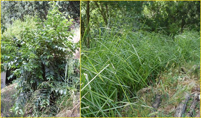 Árbol trasmocho y seto de vetiver