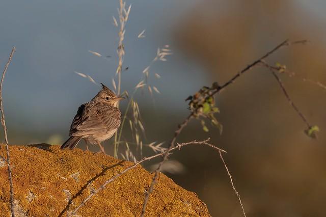 Cogullada vulgar - Cogujada comun - Cochevis huppé - Galerida cristata - Crested lark