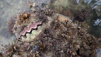 Burrowing giant clam (Tridacna crocea)