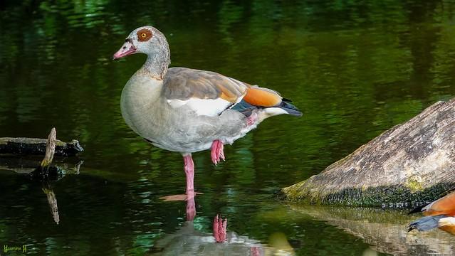 Egyptian Goose - 8572