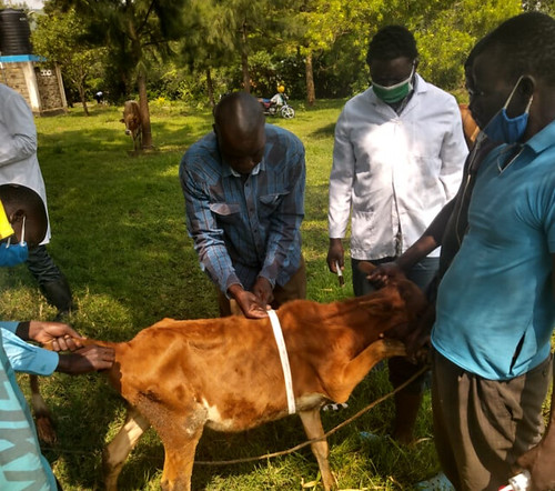 Measuring weight of animal to determine appropriate dosage for ECF Vaccine and dewormer in Muhoroni sub county, Kisumu County, Kenya