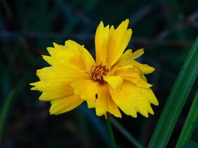 Yellow Wildflower - Along Lake Fayetteville Trail, Northwest Arkansas