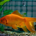 Our lovely Goldfish colours
