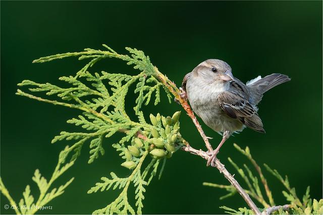 juvenile house sparrow