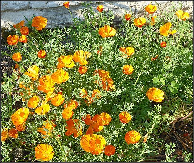 California Poppies ..