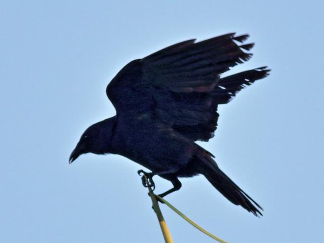 Fish Crow 01-20200624
