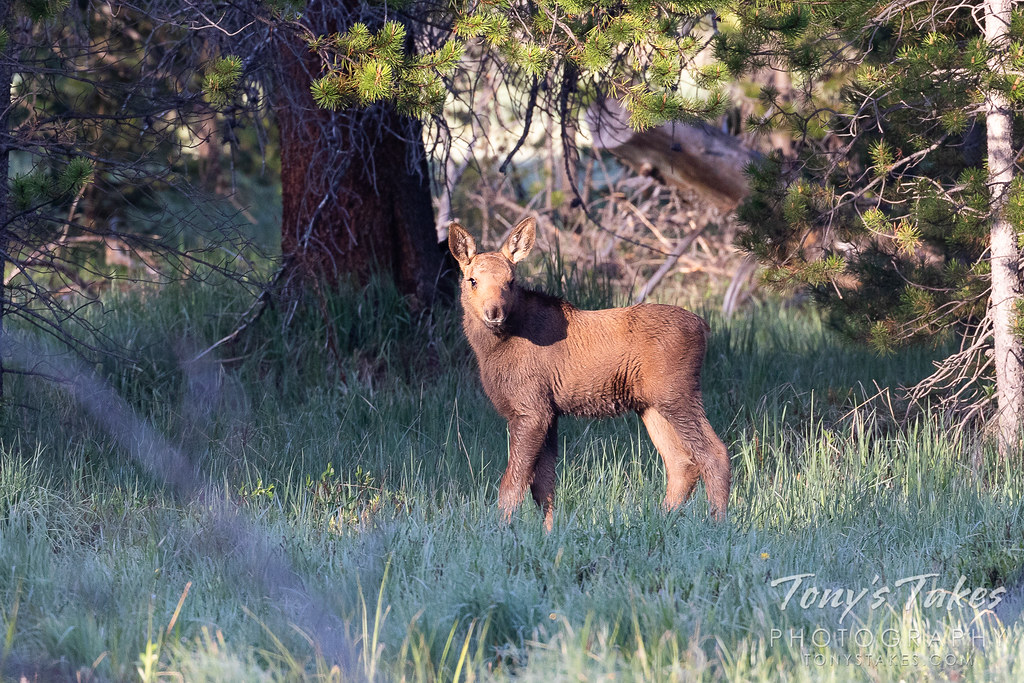 Moose calf steps into the light