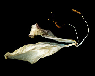 Lily Scanogram | by RobMacKillop