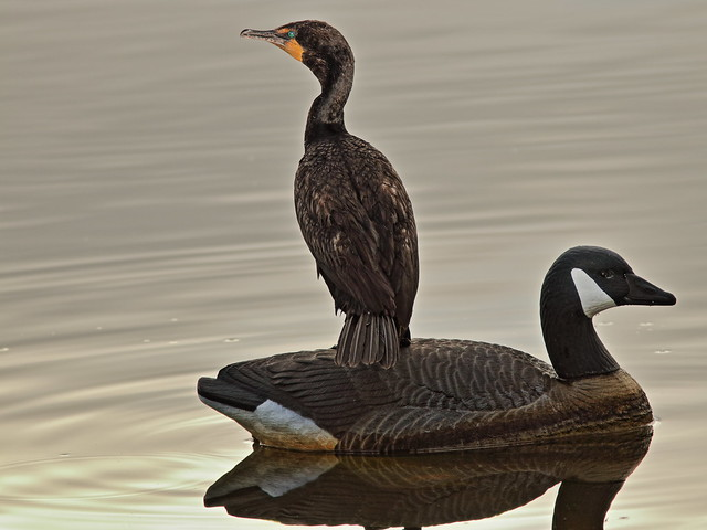 Double-crested Cormorant on decoy 20200618