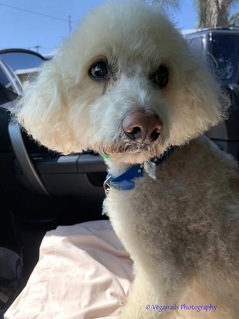 Teddy a Maltipoo latest nickname