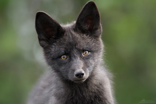 Silver fox / Renard argenté