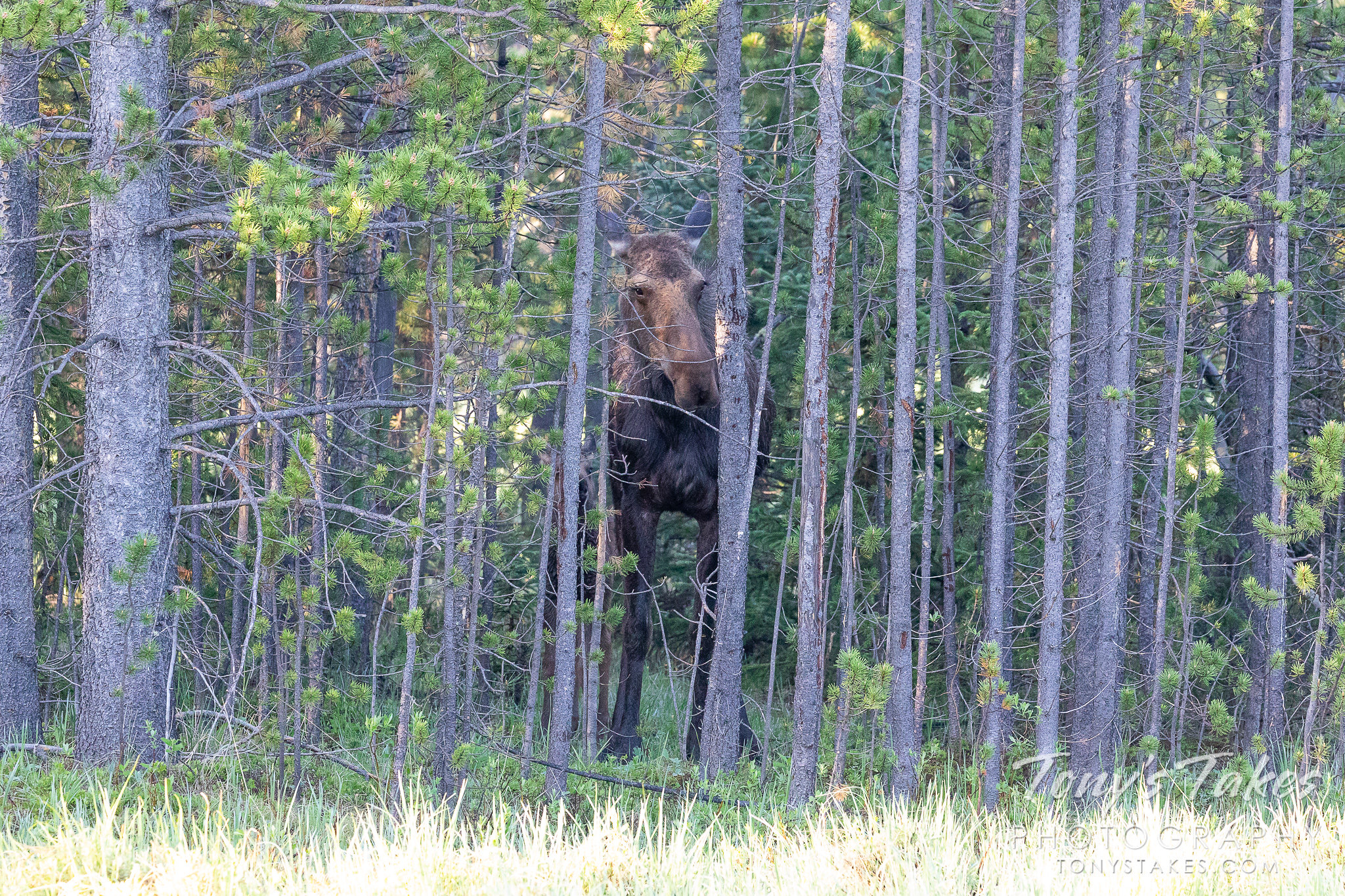 A moose cow and her calf hide in a stand of trees. (© Tony's Takes)