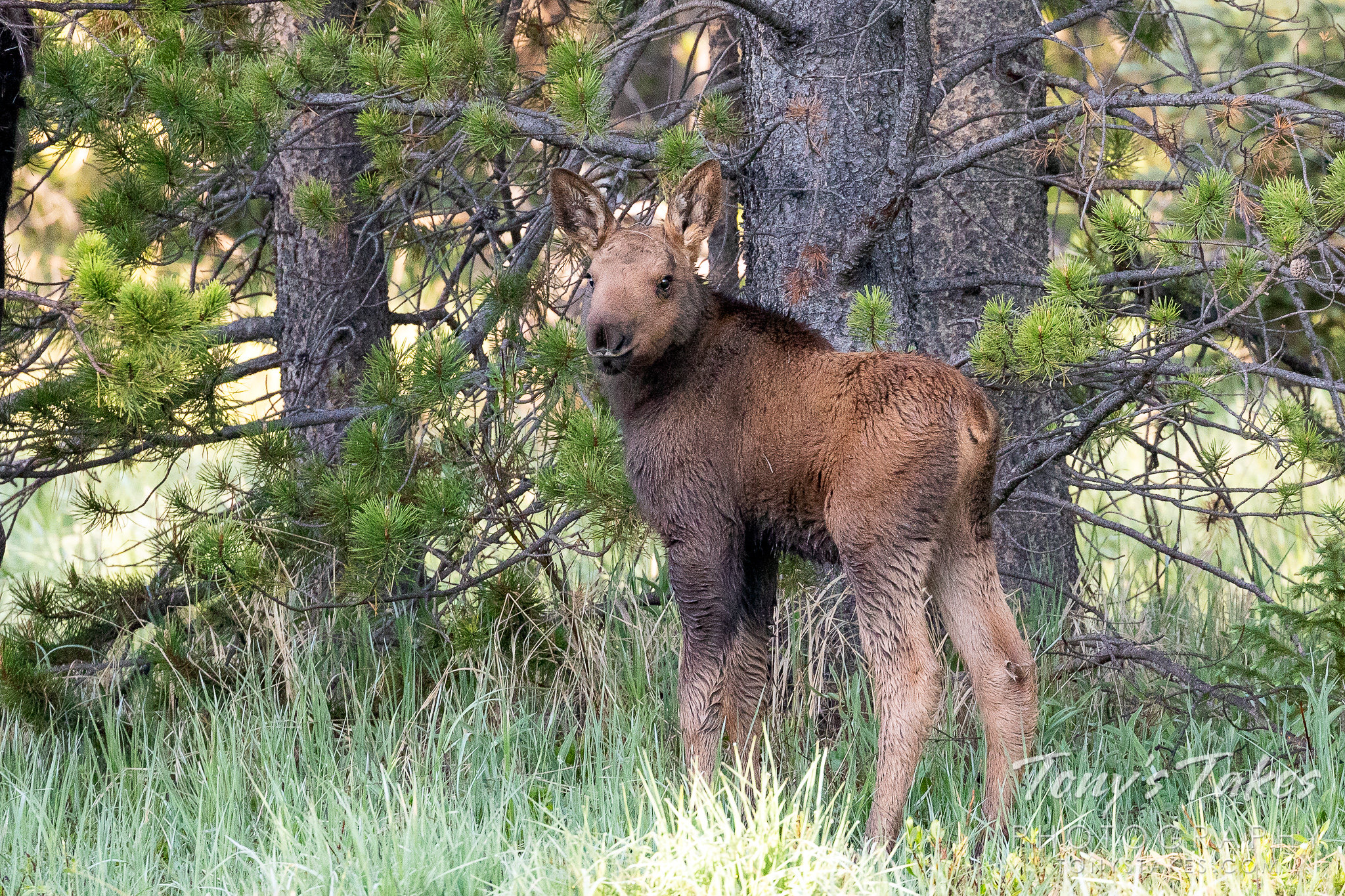 A moose calf keeps watch in Rocky Mountain National Park, Colorado. (© Tony's Takes)