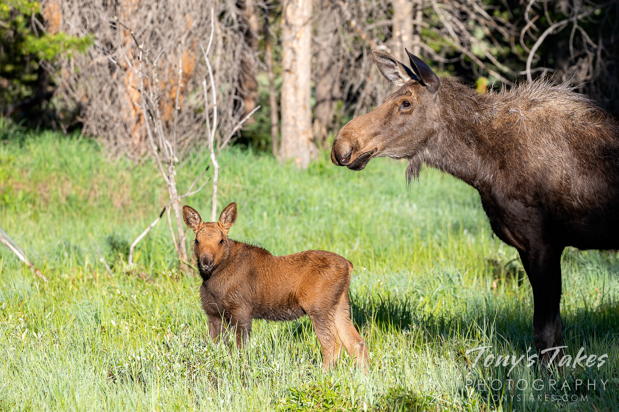 A moose calf and its mother hang out in Rocky Mountain National Park, Colorado. (© Tony's Takes)