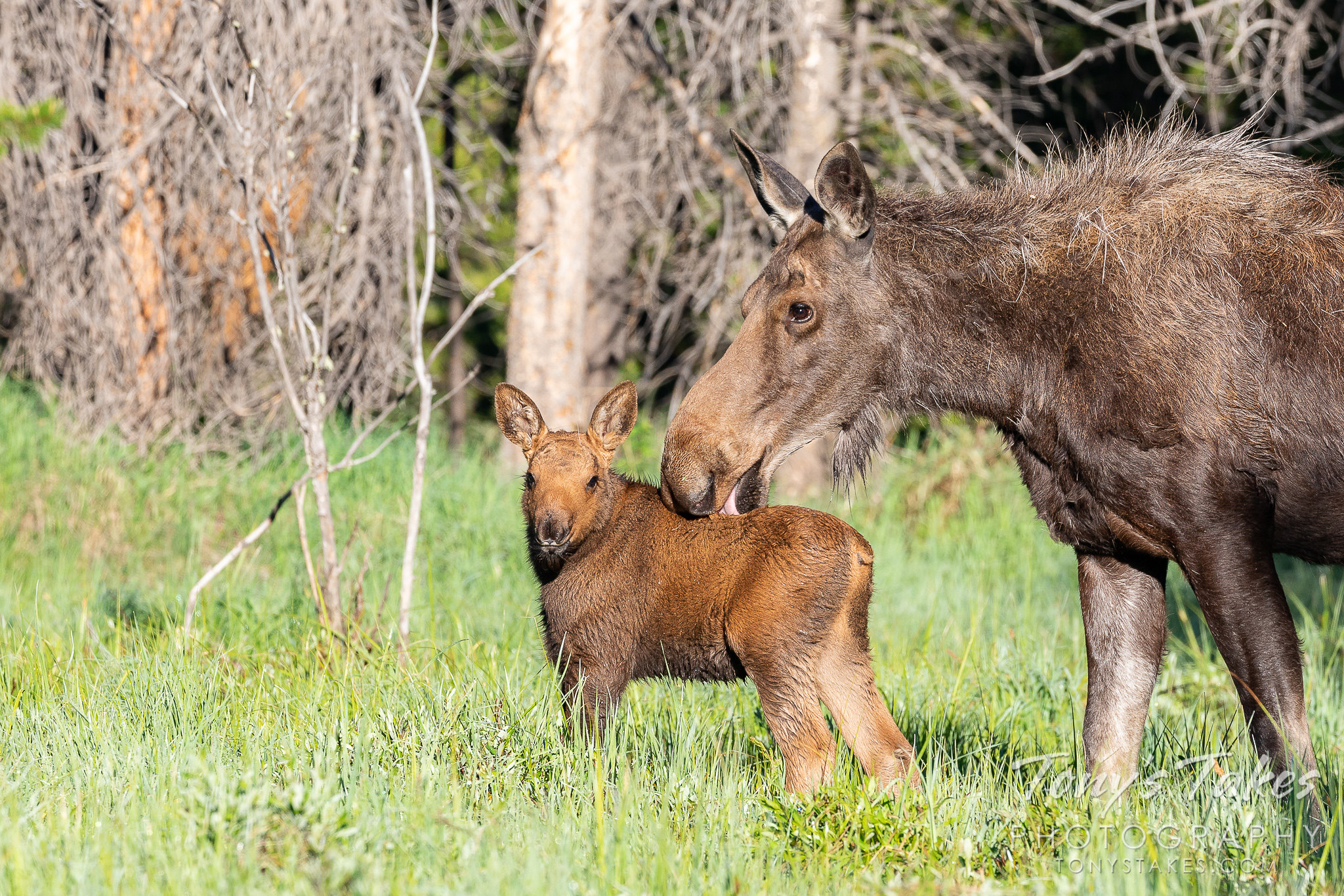 Moose calf gets a bath from mama