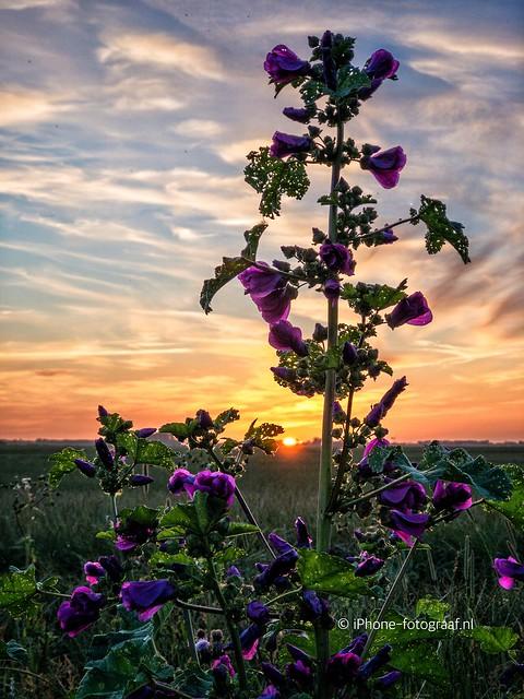 Hollyhock Sunset