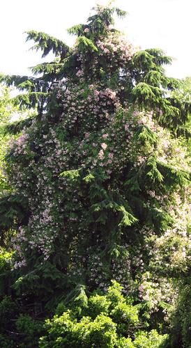 pink roses climbing up a tall cedar tree