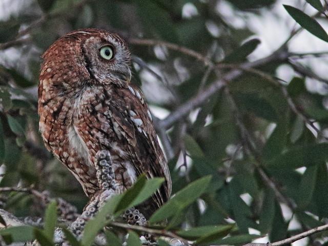 Eastern Screech-Owl, rufous morph 01-20200624