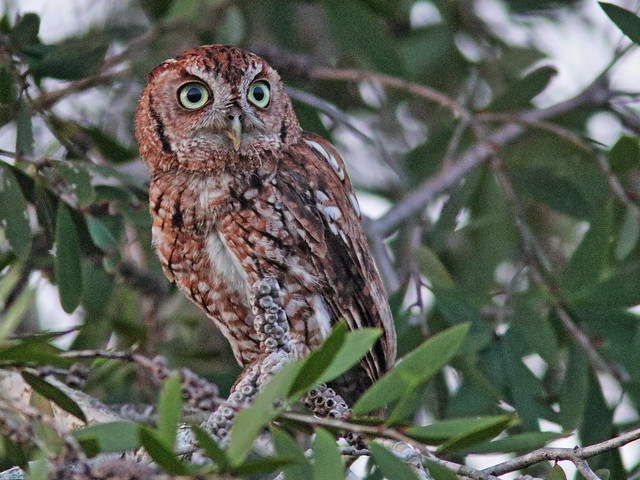 Eastern Screech-Owl, rufous morph 02-20200624