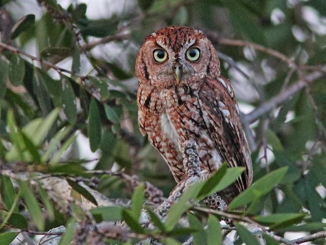 Eastern Screech-Owl, rufous morph 03-20200624