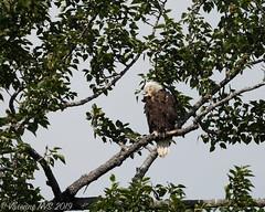 Do eagles snore?