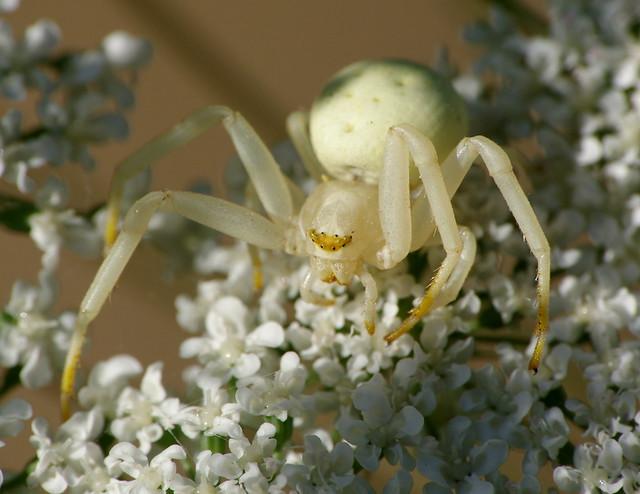 Flower Crab Spider, 8 eyes