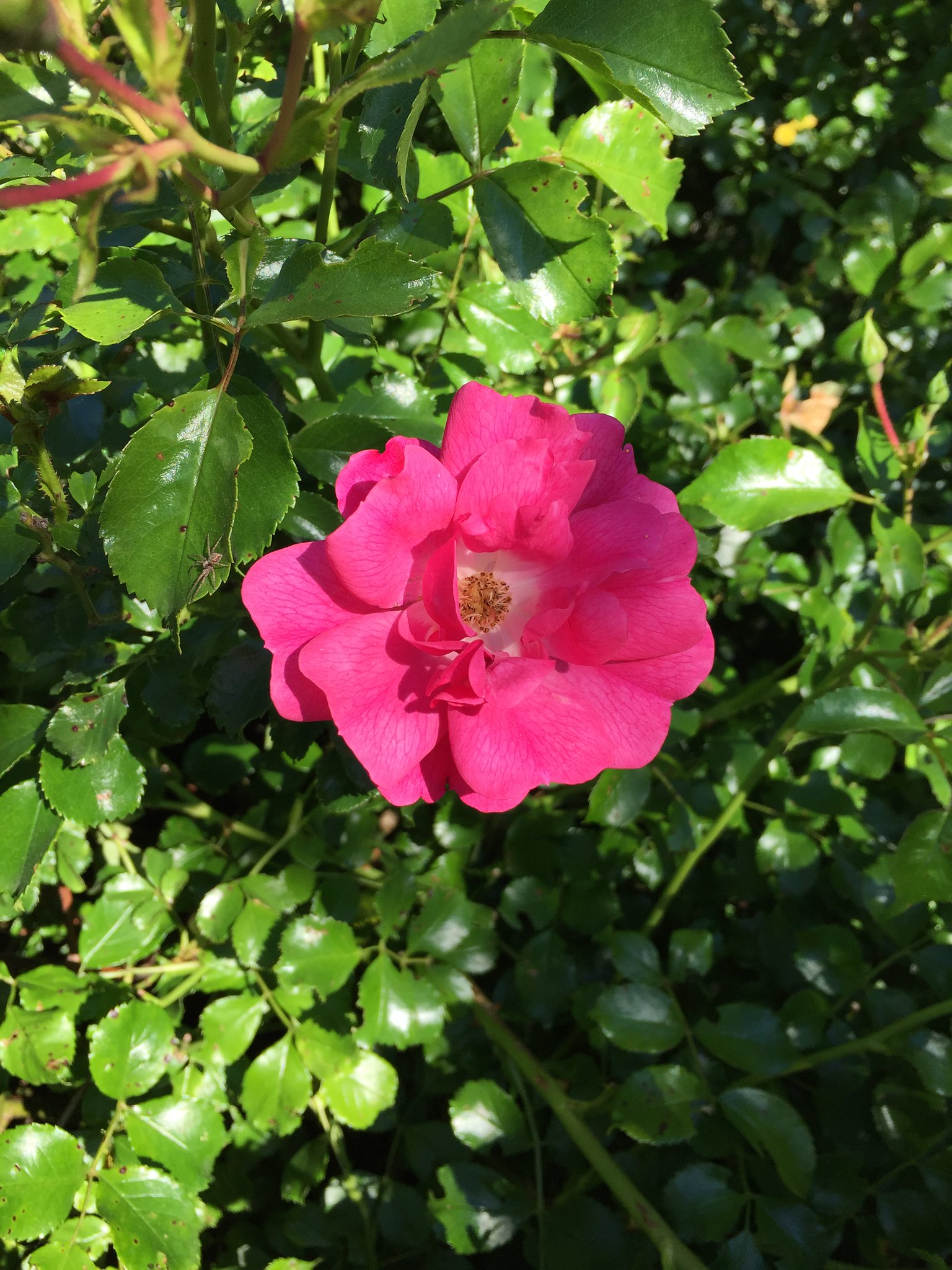 Rose - Marie Catherine Phanekham