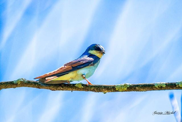 Hirondelle bicolore - Tree Swallow - Tachycineta bicolor-13