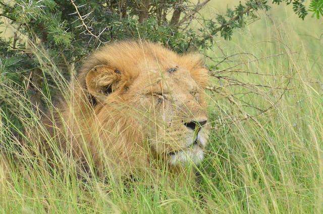 Lion in it's empire