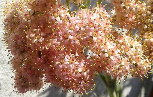 Crassula perfoliata var.perfoliata