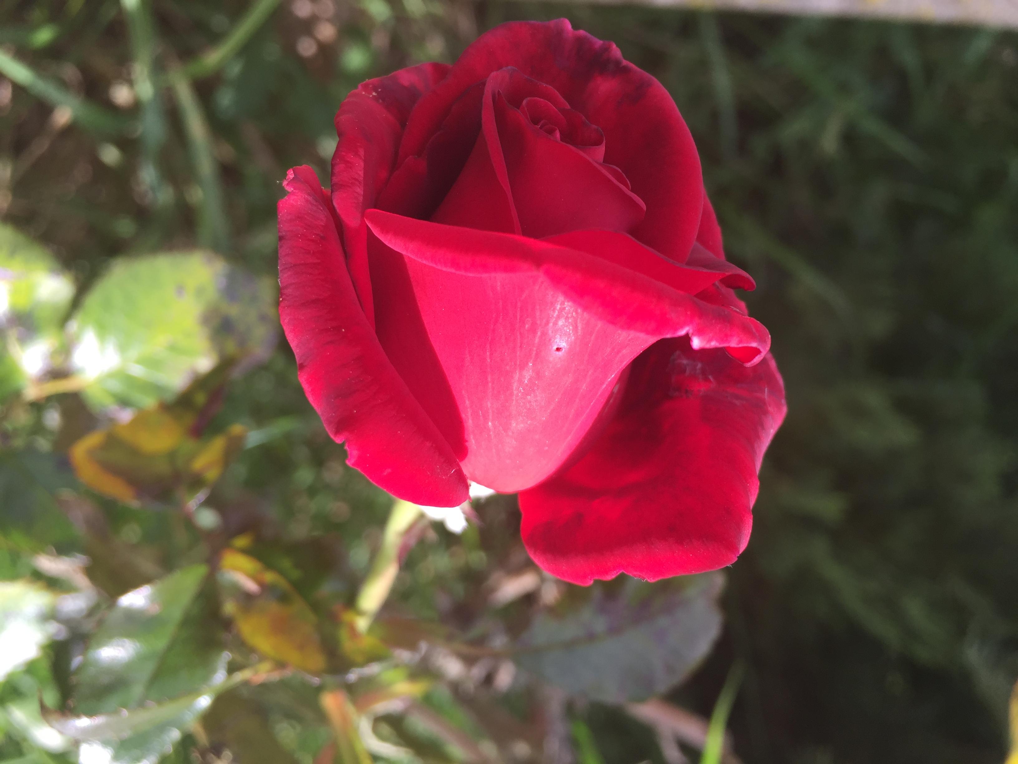 Les 3 plus belles roses du monde